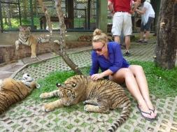 Tiger - Chiang Mai