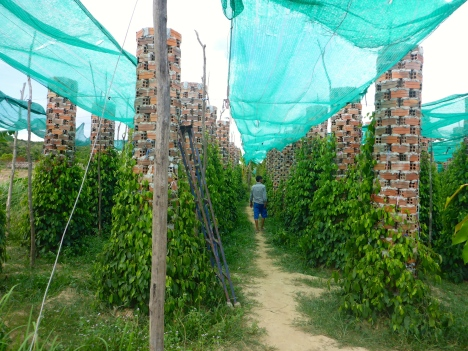 Pepper Plantation - Kampot