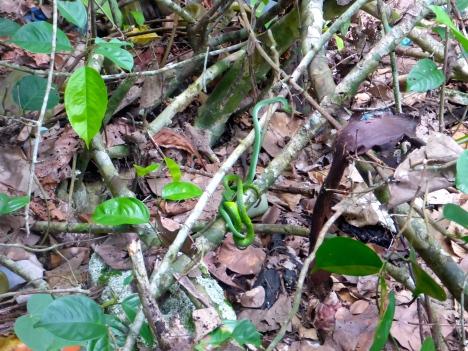 Viper Snakes - Bako National Park