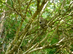 Macaque and Her Baby - Bako National Park