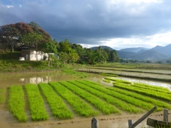 Rice Fields of Bario