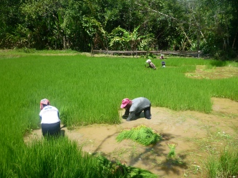Working the Rice Fields