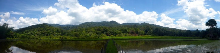 Rice Field Pano