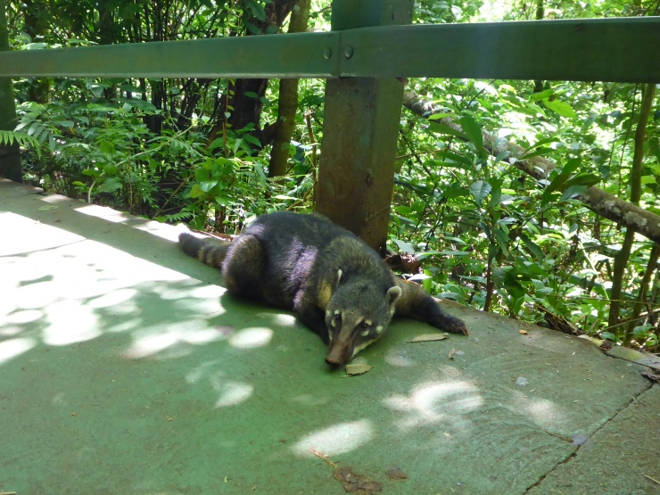 One of the Many Coatis on the Brazil Side of the Falls