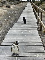 Contemplative Penguin